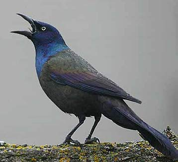 common grackle shouting