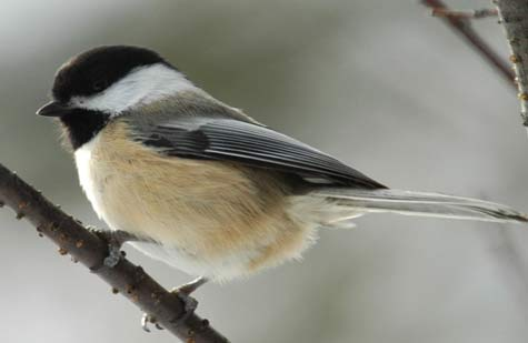 dark capped chickadee