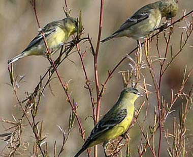 lesser gold finches