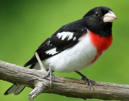 red breasted grosbeak