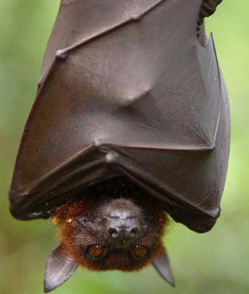 Giant Golden Crowned Flying Fox Baby