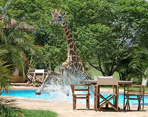 giraffe in the pool