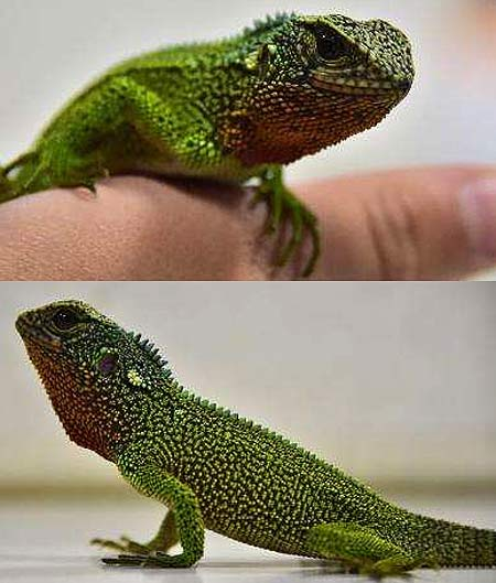 green godzilla lizards