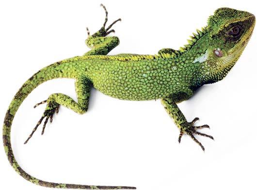 green zilla lizard