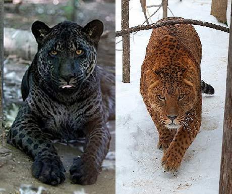 Top 10 (Plus) Hybrid Animals of the World | Animal ...