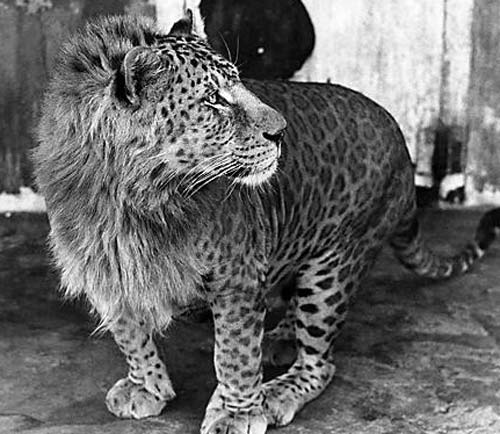Leopon Leopard Lion