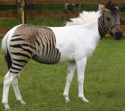 zebroid zorse