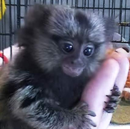 common marmoset juvenile