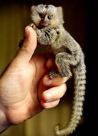 full grown pygmy marmoset