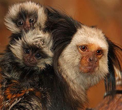 geoffroy twin marmosets