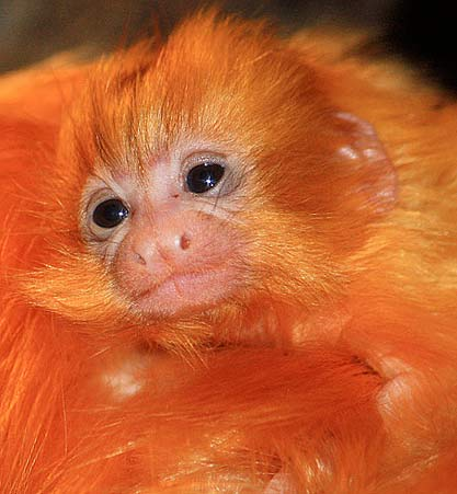 golden lion tamarin newborn
