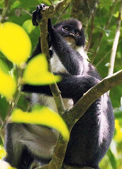 millers grizzled langur indonesia tree borneo