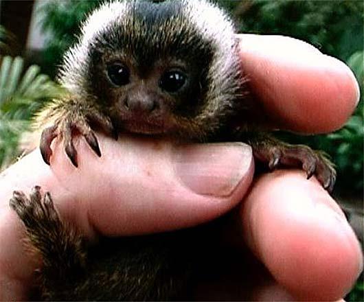 roosmalens dwarf marmoset