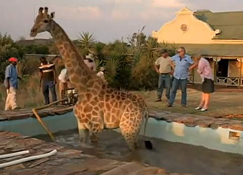 Giraffe In The Pool Animal Pictures And Facts Factzoo Com
