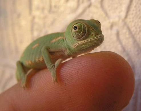 finger chameleon