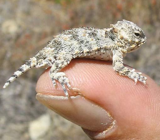 finger lizard