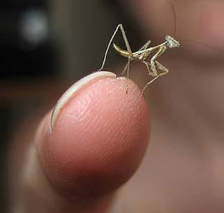 hello little mantis