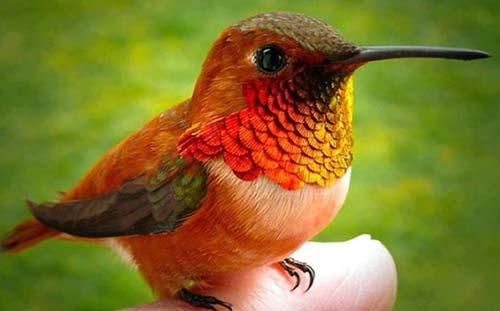 smallest bird in the world bee hum