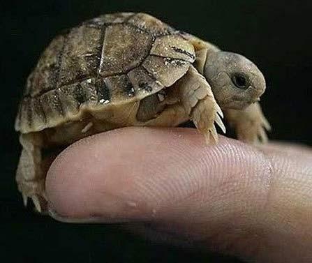 tiny shell turtle