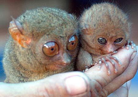 tiny tarsier
