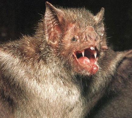 vampire bat screech
