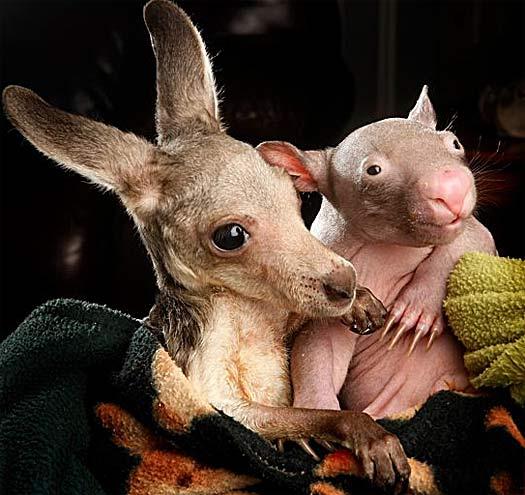 wombat kangaroo