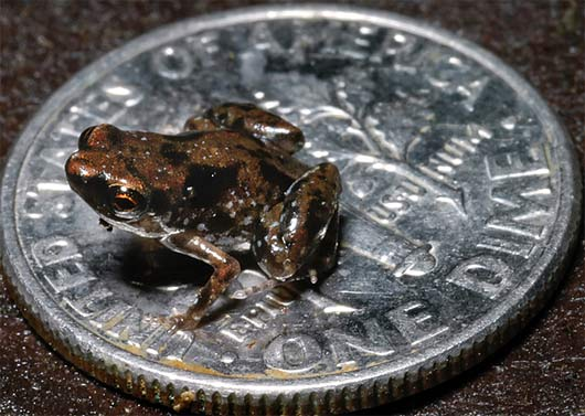 smallest vertebrate