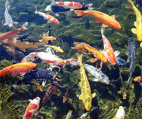 Image gallery koi fish colors for Koi pool cleveleys