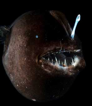 Anglerfish World S Most Hideous Fish Animal Pictures