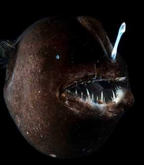 Hairy angler fish facts for Angler fish adaptations