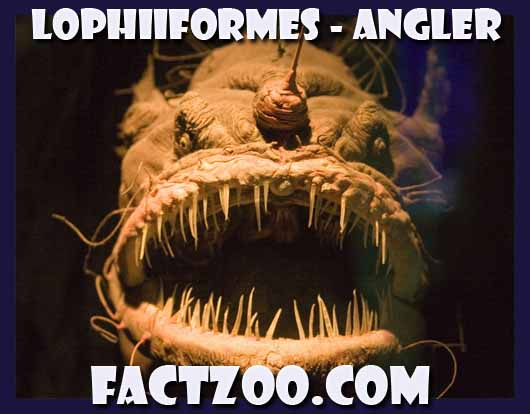 anglerfish family