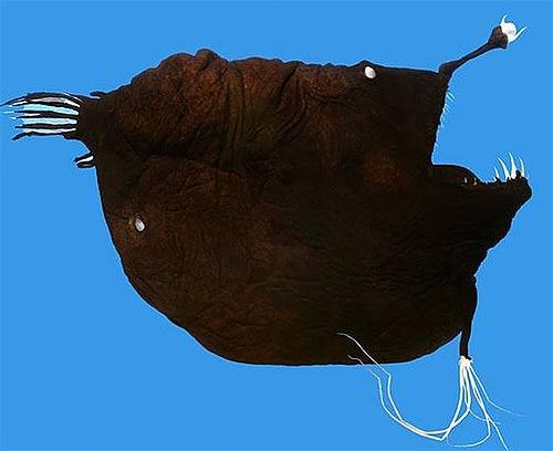 anglerfish red teeth