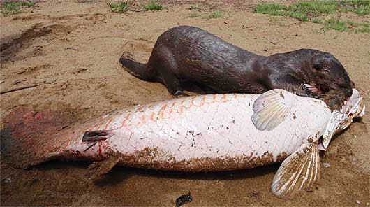 Giant Otter v Goliath Tigerfish