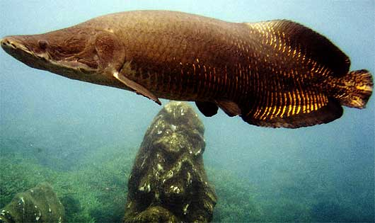 Arapaima - Ancient River Monster   Animal Pictures and ...