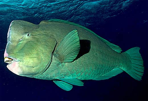 types of fishes in ocean. Most parrot fish are primarily