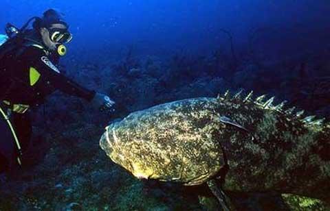 Giant Grouper - Massive, Round, Dark Fish | Animal Pictures