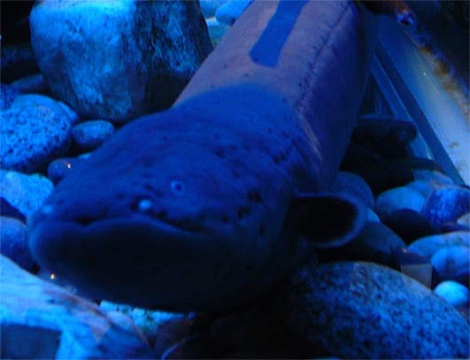 electric eels regulated voltage animal pictures and