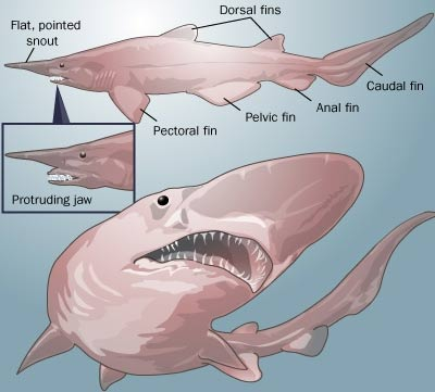 goblin shark freaky deep sea big nose animal pictures and facts