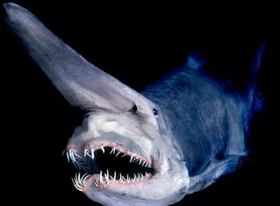 Goblin shark freaky deep sea big nose animal pictures for Big nose fish