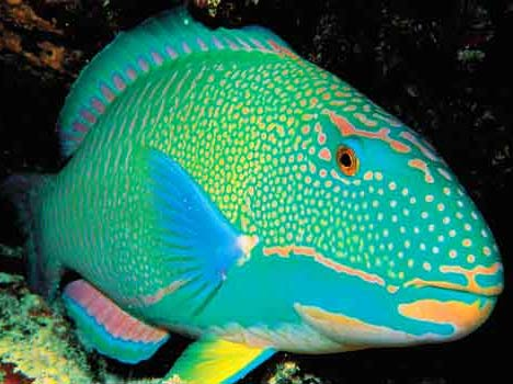 Parrot Fish – Misunderstood, or Miraculous Ocean Dwellers | Animal ...