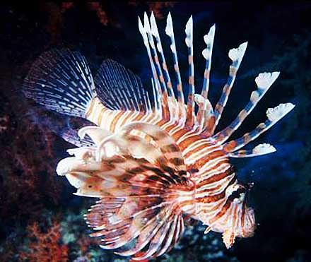 lionfish colorful