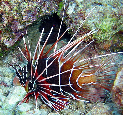 pterois radiata clearfin tailbar lionfish eel