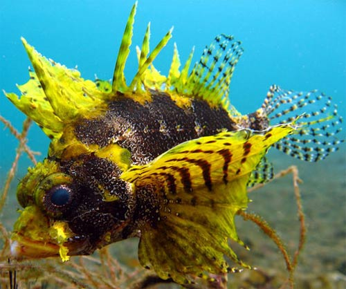 yellow dwarf lionfish
