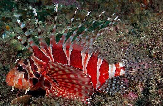 zebra dwarf lionfish  ...