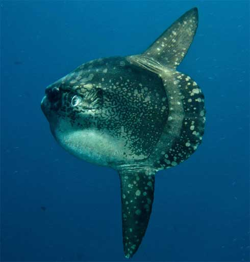 Ocean sunfish mola mola head with fins animal for Mola mola fish