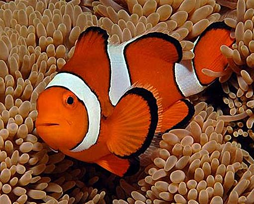 ... fish in disney pixar s finding nemo a clownfish is sometimes called