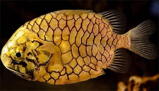 Pincone Fish - Yellow Luminescent Deep Sea Swimmer | Animal