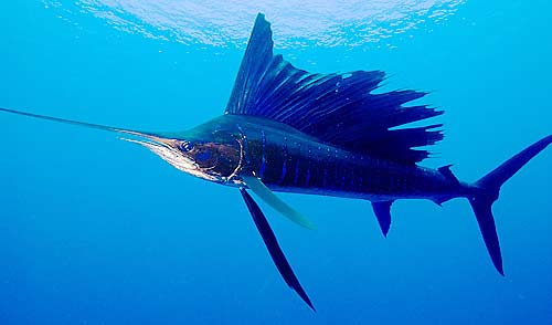 sailfish the fastest swimming animal animal pictures
