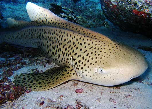 adult zebra shark
