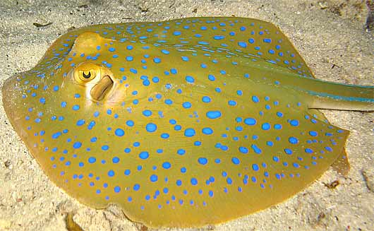 blue spotted